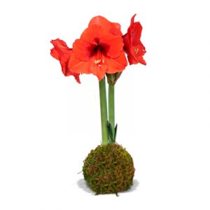 RED SOVEREIGN AMARYLLIS MOSS
